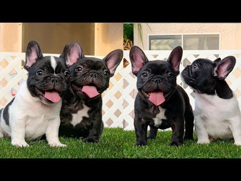 Try not to laugh | Cute and Funny French Bulldogs doing funny things # 20 (2019)| Cute Pets