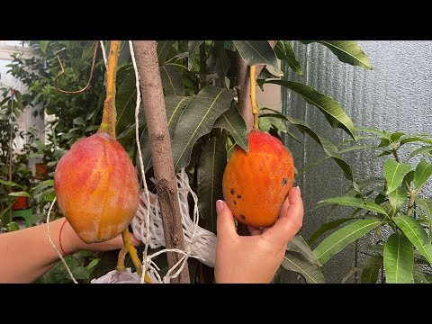 Mango 'Sensation'