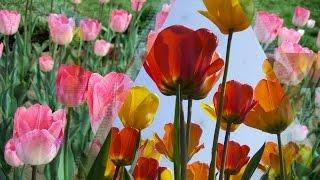 Тюльпановые рощи для вас, друзья!(Тюльпановые рощи для вас, друзья! Поздравления на все случаи жизни! Поздравляйте своих родных и друзей ориг..., 2016-01-02T18:11:39.000Z)