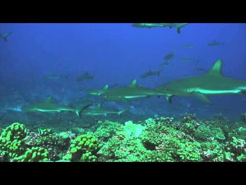 Tuamotus Fakarava diving Sharks Wall