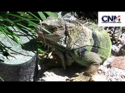 Green Iguana in the sun & then chomps something - by John D. Villarreal