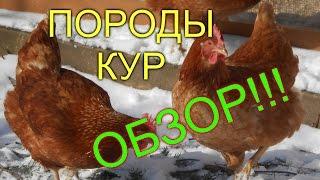 ОБЗОР// ПОРОДЫ КУР НЕСУШЕК//МОЯ ЛЮБИМАЯ УСАДЬБА