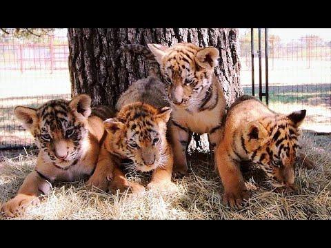 CARE Tiger Cub Cam 10.14.19 #3