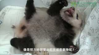 圓仔努力翻身 Baby Giant Panda Turn The Body Over
