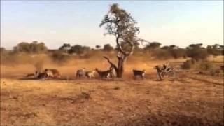 二十ハイエナ対ライオン - 스물 하이에나 대 사자.