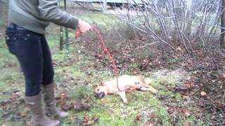 Казачка-собака с переломом позвоночника.