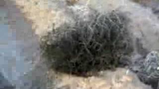 Texas tumbleweeds fifteen seconds of fame