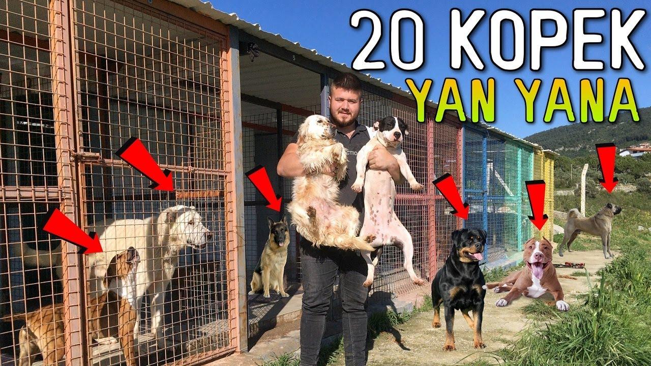 TÜM KÖPEKLERİMİ TANITIYORUM 20 TANE (Pitbull,Kangal,Rottweiler,Akbaş,Amstaff)