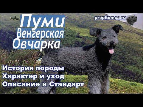 Пуми: почему эту овчарку называют венгерским терьером? Описание и история породы.