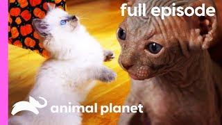 Ragdoll, Burmese, and Sphynx Kittens | Too Cute! (Full Episode)
