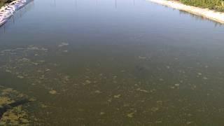 видео Разведение карпа в искусственном водоёме