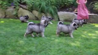 Keeshond Puppies For Sale Jessie & Lillian Stoltzfus