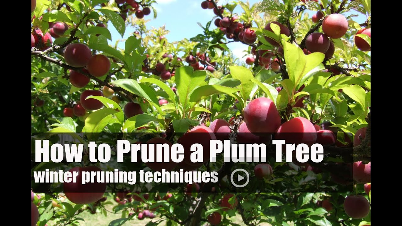 Time Of Year To Prune Fruit Trees Part - 25: How To Prune A Plum Tree - YouTube