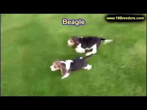 Beagle, Puppies, For, Sale, In, Anchorage, Alaska,AK, Fairbanks, Juneau, Eagle River