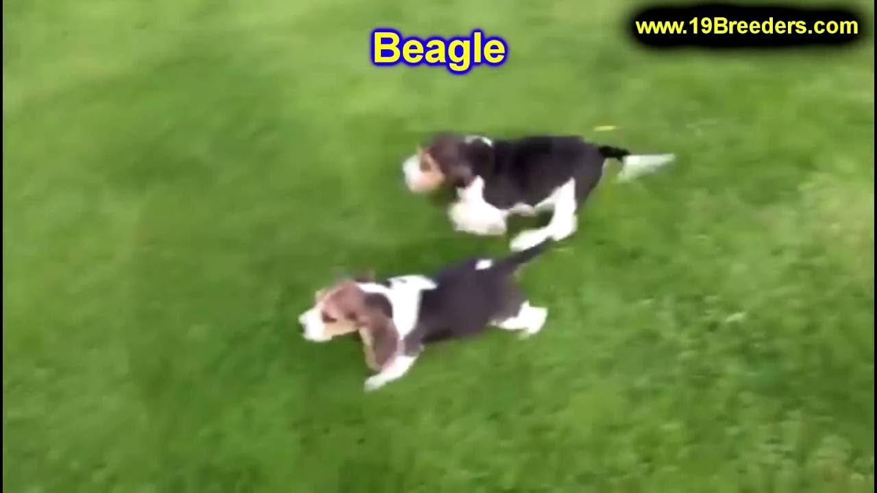 Beagle, Puppies, Dogs, For Sale, In Anchorage, Alaska, AK, 19Breeders ...