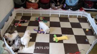 Little Rascals Uk breeders New litter of Maltipoo puppies - Puppies for Sale UK