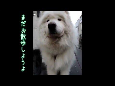 サモエド クローカ 「帰りたくないんだ~」 (samoyed kloka)