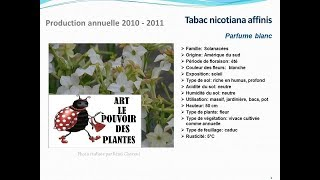 Tabac nicotiana affinis Parfume blanc: plante annuelle