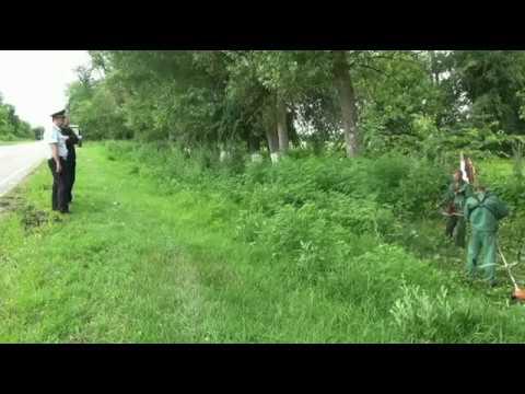 Уничтожение дикорастущей конопли в Курском районе Ставропольского края