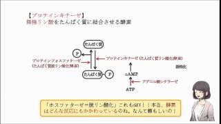 アデニル酸シクラーゼは、 cAMP(環状AMP)をATPへと変換する。 (○or×)