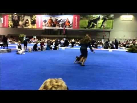 Lowchen Eukanuba 2014 - Breed  Ring`