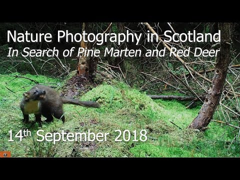 Nature Photography In The Scottish Highlands - Searching For Pine Marten And Red Deer