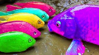 Amazing Rainbow Fish Stop Motion Experiment color fish carp giant gourami Mukbang Cooking ASMR