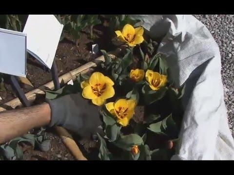 La potatura delle ortensie paniculate e arborescens - Trapianto camelia ...
