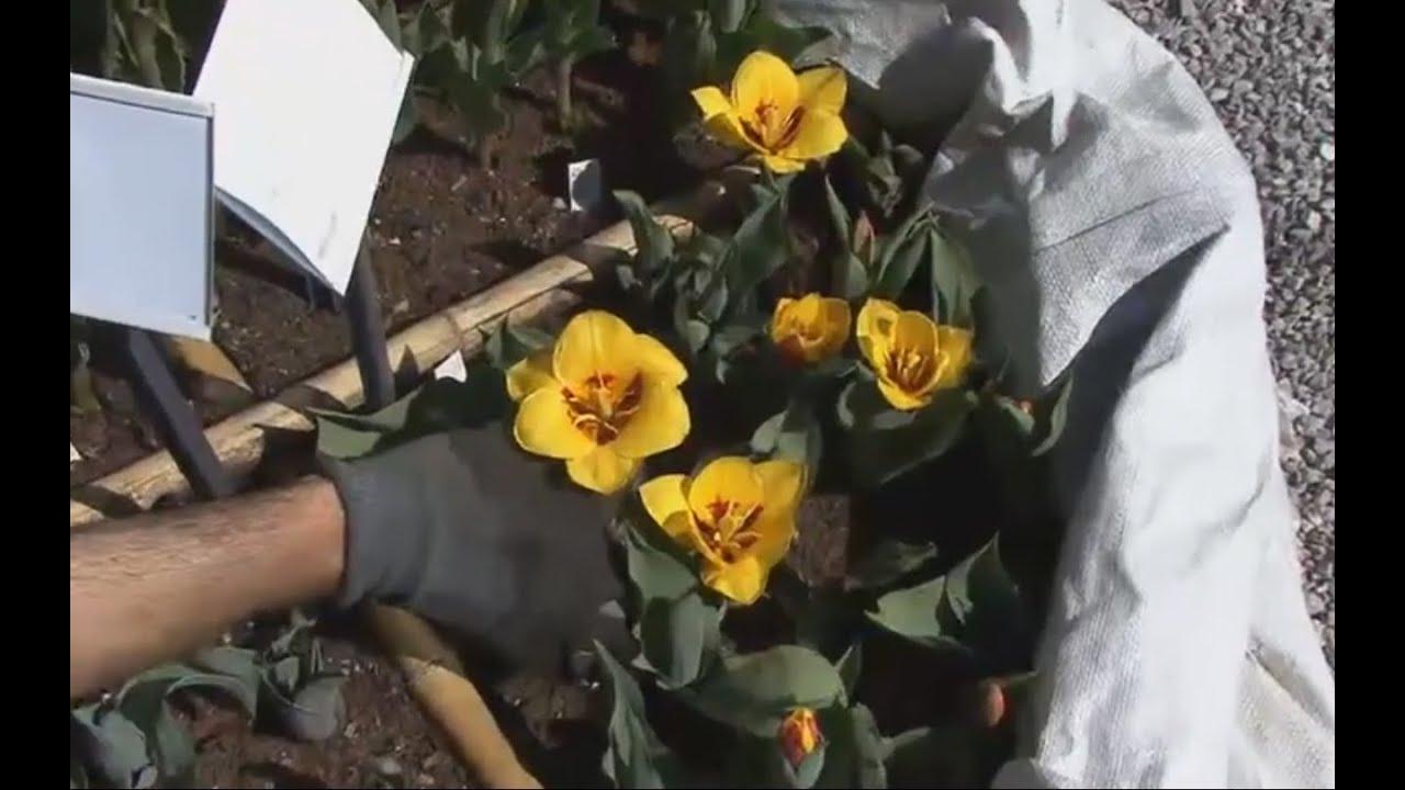 Piantare I Bulbi Di Tulipani coltivazione dei bulbi di tulipani