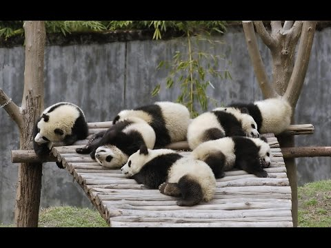 White Funny Pandas
