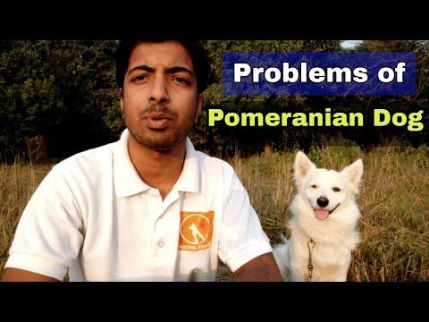3 problems with Pomeranian (Indian spitz) Dog.