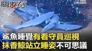 鯊魚群聚睡覺還有看守員巡視…抹香鯨「站立」睡姿令人不可思議! 關鍵時刻 20180226-3 黃創夏