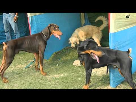 DOG SHOW (1st Time in Barasat)  By  BARASAT KENNEL CLUB