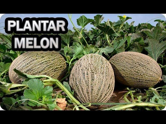 👉 Como Y Cuando Plantar Melón 🌱 - Consejos Y Trucos - Cultivo En El  Huerto    La Huertina De Toni - YouTube