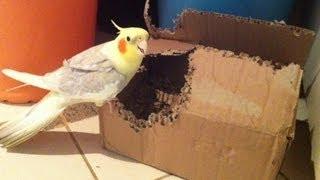 Pituco nervoso defendendo o ninho que ele fez.