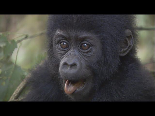 Celebrate Dian Fossey's Birthday with Baby Gorillas