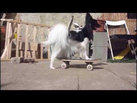 dog tricks - border collie and papillon