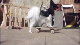 dog tricks  border collie and papillon