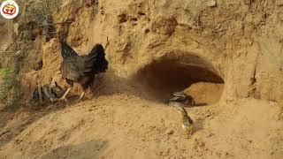 Cuộc chiến giữa gà mái mẹ vs rắn độc