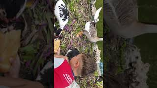 Адамчику понравилось подкармливать уточек и любимого гуся . Отдых