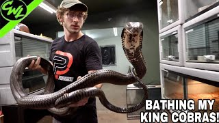 BATHING MY KING COBRAS!!!