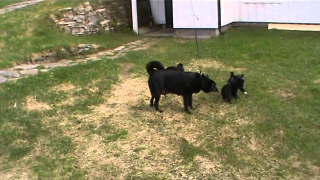 Ungdommelig Norsk elghund svart valper - YouTube RY-45