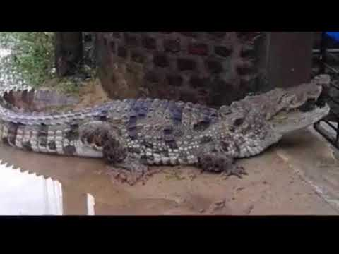 Crocodiles Are Walking on Houston Streets Texas Shocking Pictures!