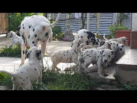 Croatia: heaven on earth - dalmatian dogs & puppies