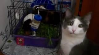 кот и морские свинки