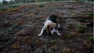 Miniature Beagle Vs Angry Birds Running In Circles Crazy Mini Beagles Family Puppy