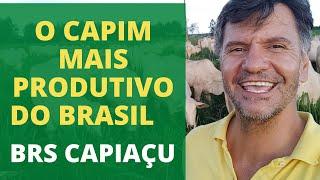 1 HECTARE DE CAPIM CAPIAÇU TRATA DE 90 CABEÇAS NO SISTEMA DE CONFINAMENTO.