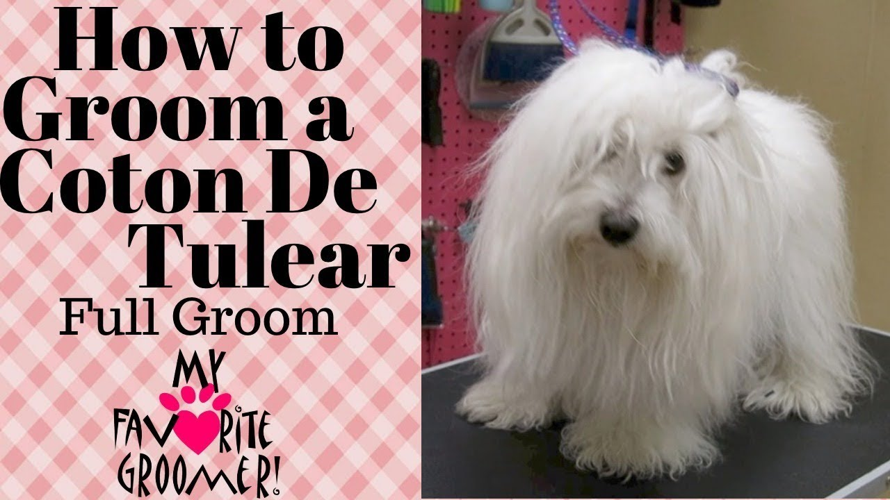 How to Groom a Coton de Tulear
