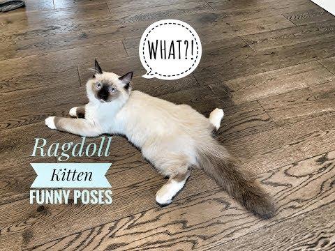 Ragdoll Kitten | Funny Poses! [4K]