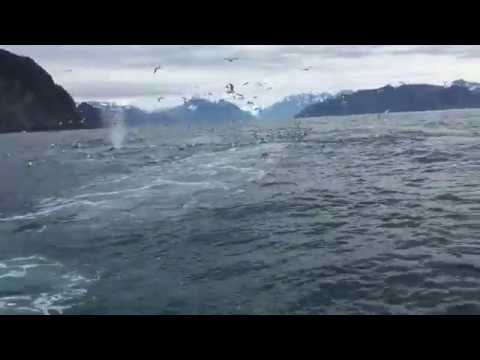 (WATCH) Rare Humpback Whale Feeding Event